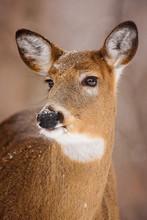 Wiscosnin Whitetail Deer
