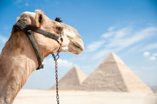 Elegant Profile Of White Camel Looking Out Over The Great Pyramids Of Giza, Egypt