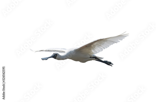Photo Black-faced Spoonbill isolated on white background