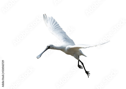 Black-faced Spoonbill isolated on white background Wallpaper Mural