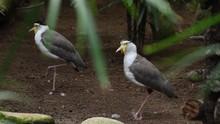 Masked Lapwing Birds In A Natu...