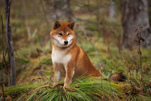 Beautiful And Happy Shiba Inu Dog Sitting On The Grass In The Forest In Fall. Cute Red Shiba Inu Female Dog