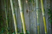 Evergreen Bambusa Plant With G...