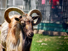 Close Up Of Head And Horns Of ...