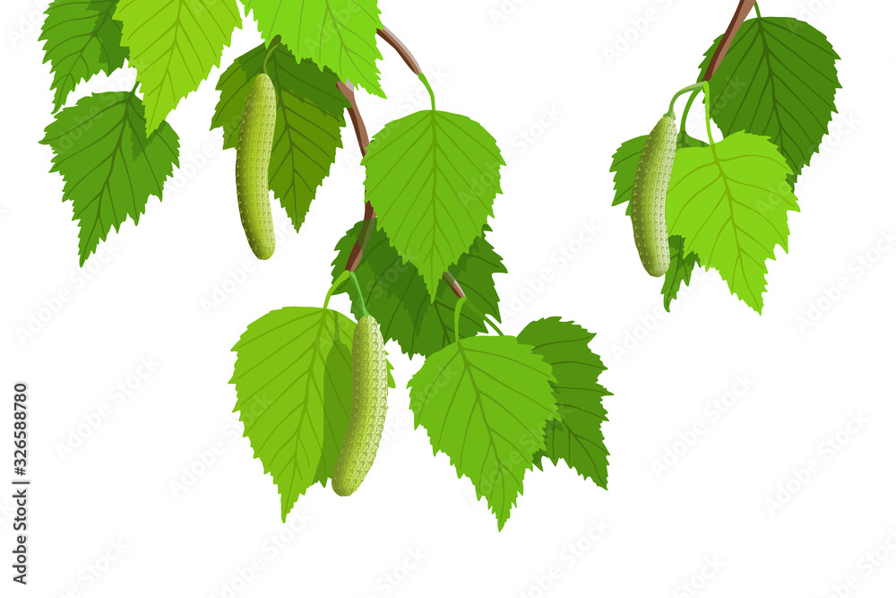A branch of birch on a white background, young green leaves. Bright spring background, vector illustration