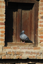 Pigeon Resting At The Wooden F...