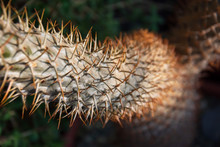 A Plant With Sharp Thorns On A Trunk Growing In Deserts.