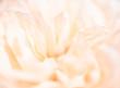 Beautiful close up softness pink rose petal background