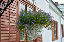 Beautiful Blue Flowers In A Hanging Planter. Decorative White Pots With Blue Flowers In Summer.