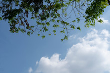 Treetops, Blue Sky And Clouds