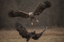 White-tailed Eagles Fighting I...