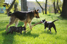 Three Friendly Happy Playing Dogs In Sping Park. German Shepherd, American Staffordshire Terrier And French Bulldog Play With One Stick. Different Dog Breeds Have Fun Together.