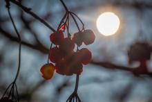 Berries Of Viburnum Against Th...