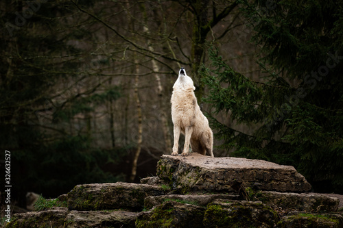 Photo Howling of white wolf in the forest