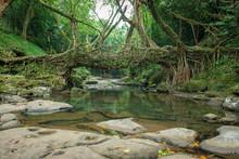Living Root Bridge Handmade From The Aerial Roots Of Rubber Fig Trees (Ficus Elastica) By The Khasi And Jaintia Peoples  Meghalaya, India