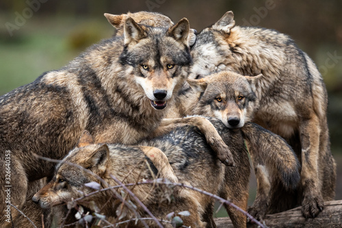 Fotomural Family of grey wolf in the forest