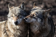 Two grey wolf in love