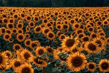 Beautiful Scenery Of Sunflower...