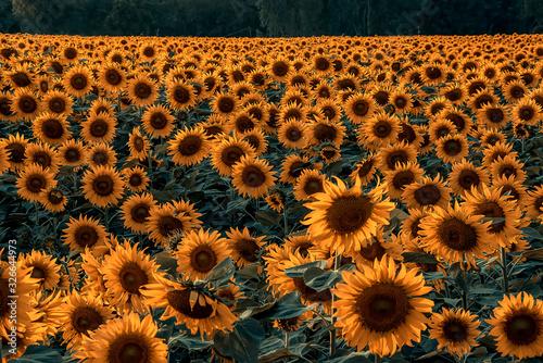 Beautiful scenery of sunflower fields