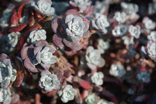 Broadleaf stonecrop Fototapeta