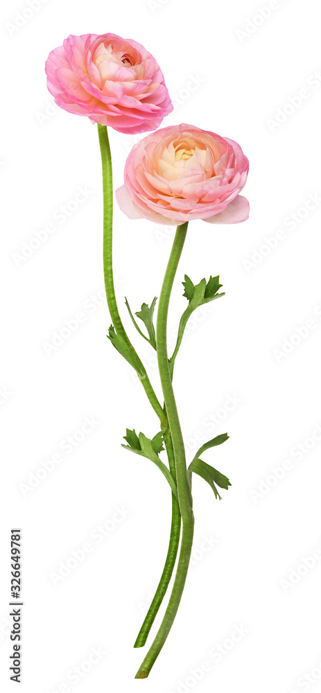 Fototapeta Two pink ranunculus flowers