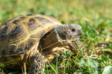 Beautiful Close-up Of A Russian Tortoise Or Horsfield Tortoise, Agrionemys Horsfieldii, Lying In The Grass.