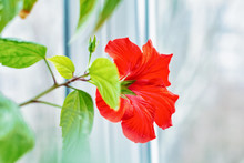 Red Hibiscus Flower In A Green...