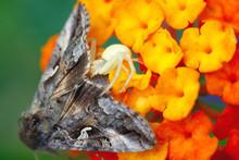 Crab Spider Eating Large Moth