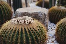 Prickly Pear Cactus Closeup. G...