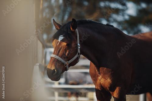 Fototapeta Portrait of bay horse obraz