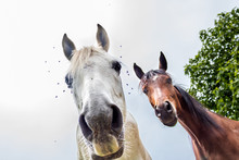 Two Funny Horses Looking At C...