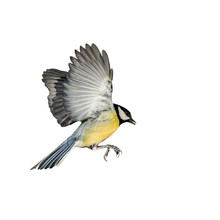 Songbird Tit Flies Spreading Its Wings And Feathers On White Isolated Background