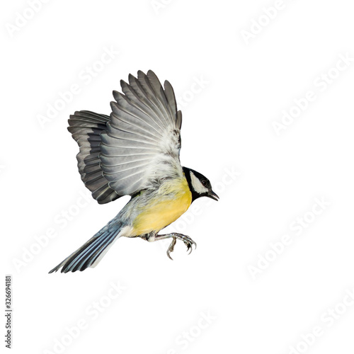 Stampa su Tela songbird tit flies spreading its wings and feathers on white isolated background