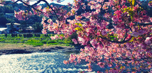 Beautiful Branch Of Sakura Cherry Blossom Or Pink Flower Blooming With Sunlight In Morning, River Or Lake And Village Blurred Background Blue Vintage Tone. Beauty In Nature And Natural Wallpaper