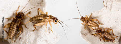 Photographie cricket - Gryllus assimilis - feeding insects