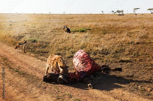 Fotomural Hyena (Crocuta crocuta) eats meat.