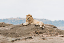 Lazy Lion On Th Rock In Safari