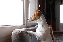 Jack Russell Terrier Is Waitin...
