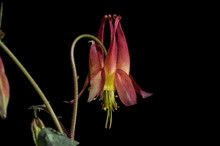 Red Columbine Is An Herbaceous...
