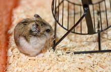 The Djungarian Dwarf Hamster I...