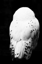 White Snow Owl Sitting Feather...