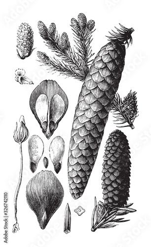 Norway spruce (Picea abies) / vintage illustration from Brockhaus Konversations- Wallpaper Mural