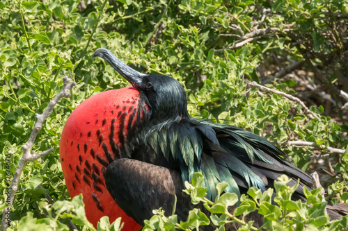Fotomural Male frigate bird with its bright red throat pouch fully puffed in hope of attra