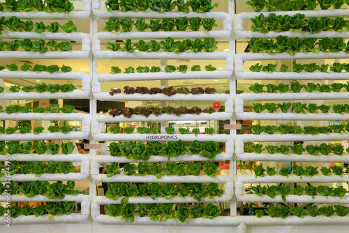 Obraz Hydroponics vertical farm in building with high technology farming. Agricultural Greenhouse with hydroponic shelving system. - fototapety do salonu