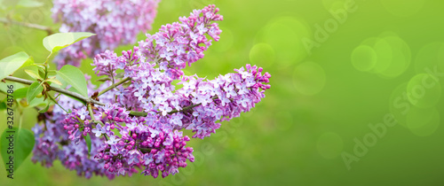 Branch with spring lilac flowers. Nature background. Wallpaper Mural