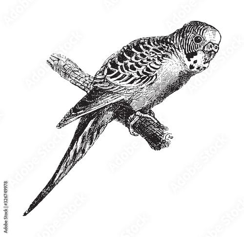 Budgerigar (Melopsittacus undulatus) / vintage illustration from Brockhaus Konve Fototapeta