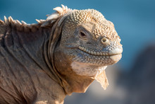 Land Iguana On A Beach Rock, S...