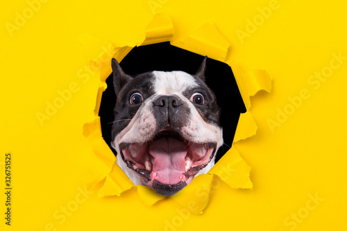 Obraz na plátně Funny french bulldog looking from the hole of yellow box