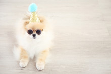 Pomeranian Dog With Birthday Cap And Sunglasses Lying On The Floor