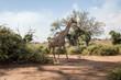 canvas print picture - Giraffe läuft im Schatten unter Bäumen